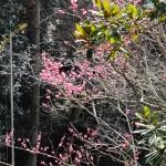 御座爪切不動尊の八重桜?