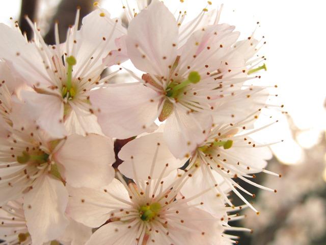 桜も咲いてきました。