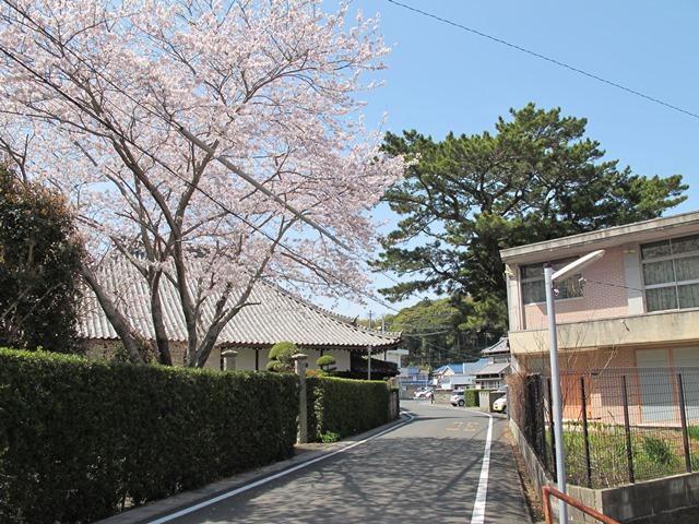 潮音寺の満開の桜と松