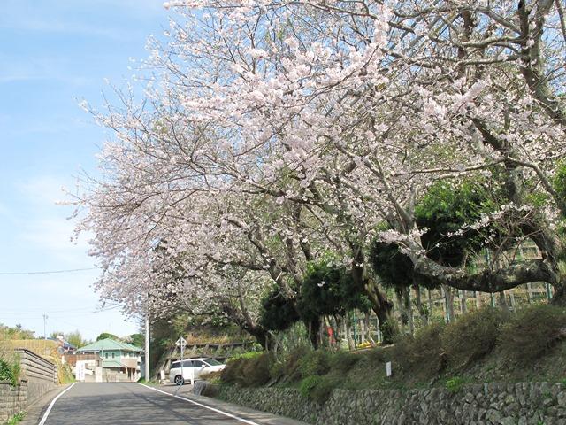 御座小学校の桜並木