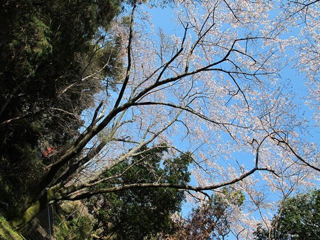 薬師堂前の桜
