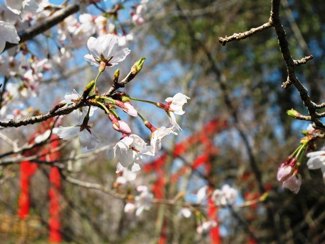 桜(ソメイヨシノ)と稲荷の鳥居