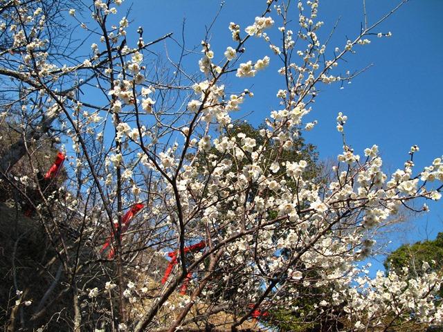 梅の花、白色