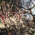 梅の花、赤色