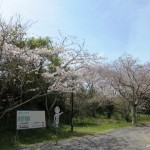 御座爪切不動尊の参道脇の桜