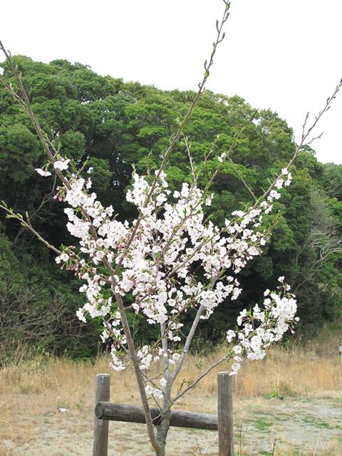 無料駐車場の桜の苗木の桜の花
