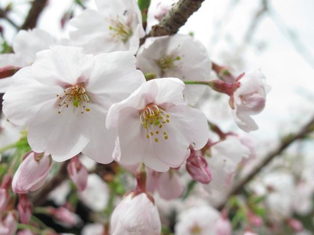桜の苗木の桜の花のアップ