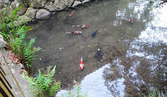 池の鯉も元気にしています。
