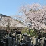 潮音寺の桜も大満開