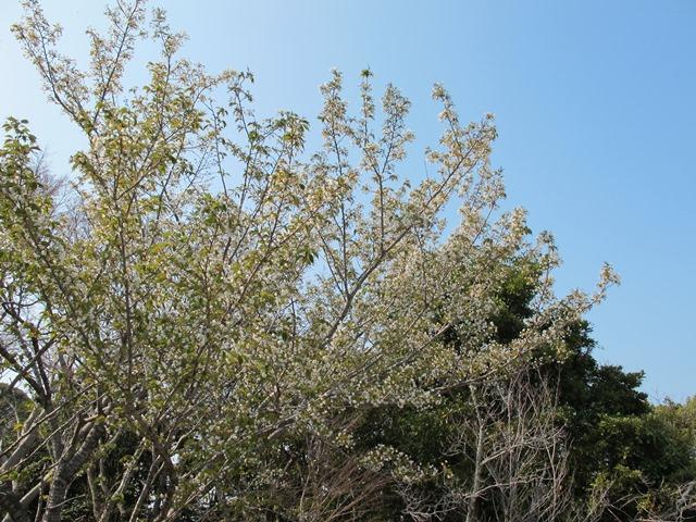 御座爪切不動尊の参道脇の山桜