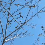 平成26年3月22日桜「ソメイヨシノ」のつぼみその2