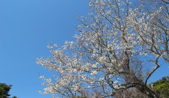 表参道の山桜、1本満開