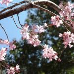 枝垂れ桜(しだれざくら)と蜜蜂(みつばち)