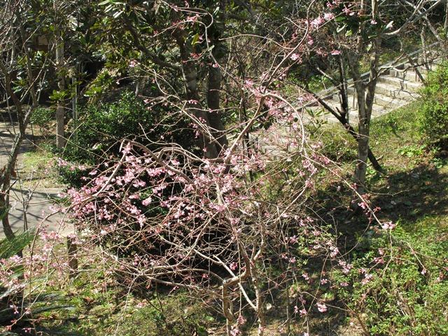 まだまだ小ぶりな枝垂れ桜が開花し出しました。