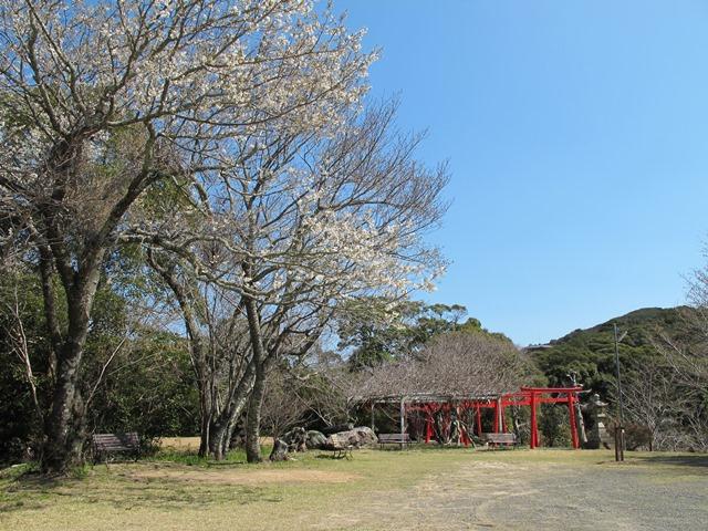 表参道広場の山桜満開と稲荷鳥居