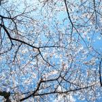 御座爪切不動尊の桜天井、満開までもう少