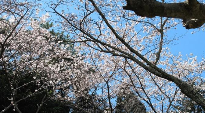 御座爪切不動尊の薬師堂前の桜ソメイヨシノ