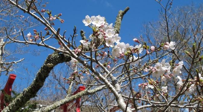 霊園階段横の桜ソメイヨシノの開花とつぼみ
