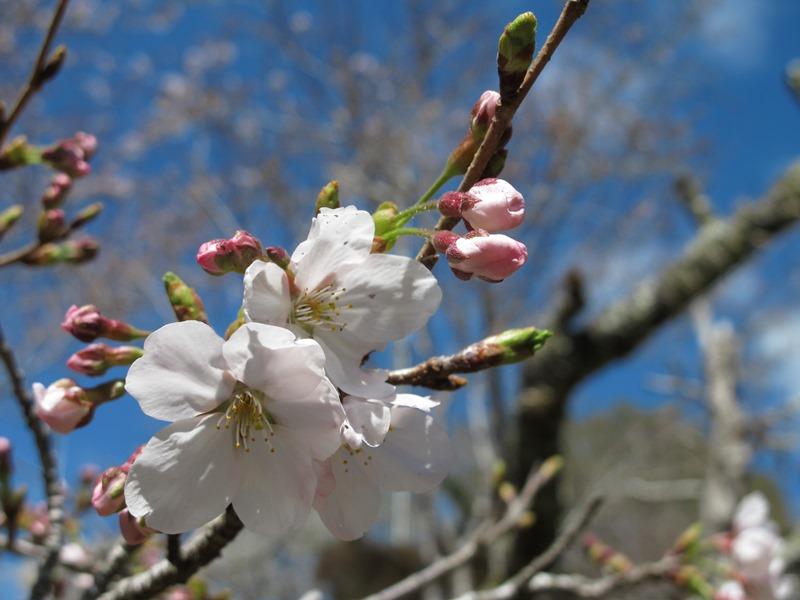 御座爪切不動尊の桜ソメイヨシノの開花とつぼみ