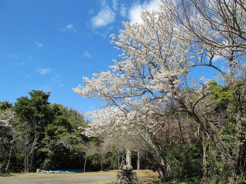 稲荷前の山桜