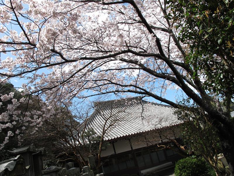 潮音寺の一本桜も大満開