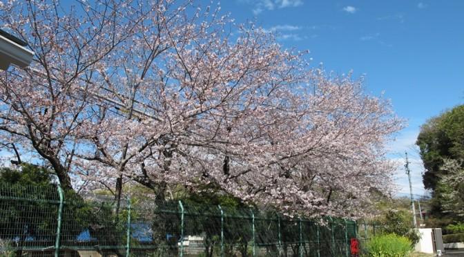 御座小学校の桜並木も満開