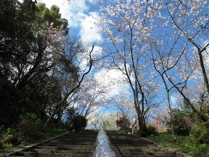 御座爪切不動尊の桜トンネルを下から撮影