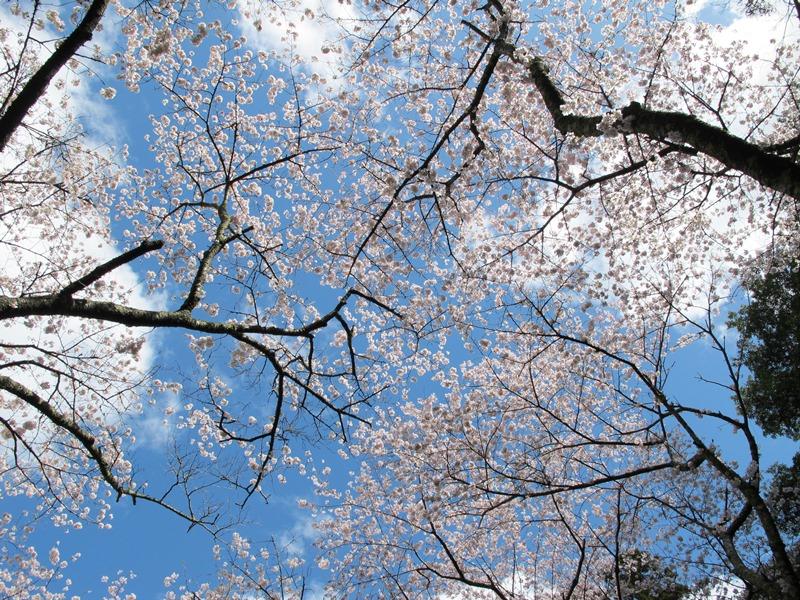 御座爪切不動尊のほぼ満開の桜天井