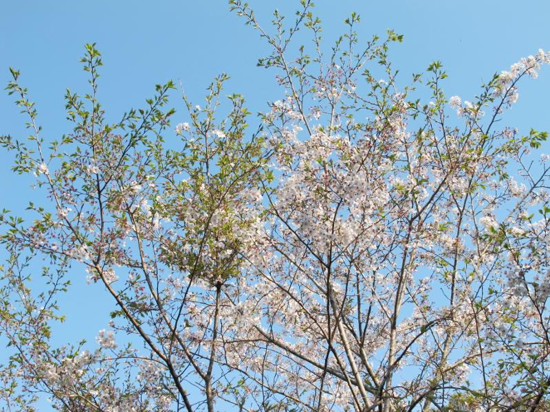 稲荷裏広場の桜のアップ