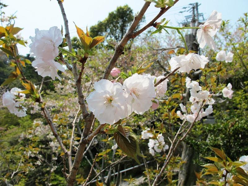 稲荷鳥居横の桜