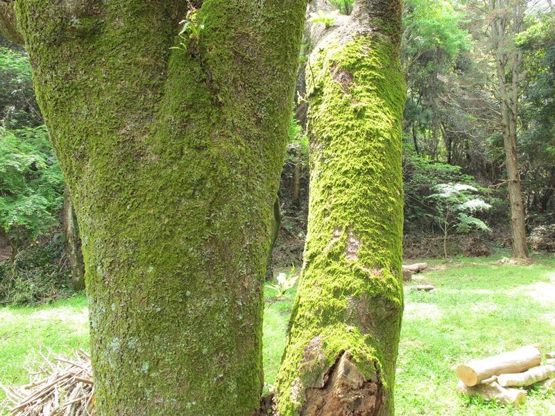 土俵跡前の桜の木と土俵跡