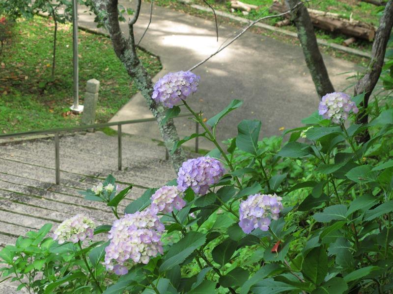 稲荷から土俵跡への階段右手のアジサイその1