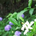 御座爪切不動尊の紫陽花とクチナシの花