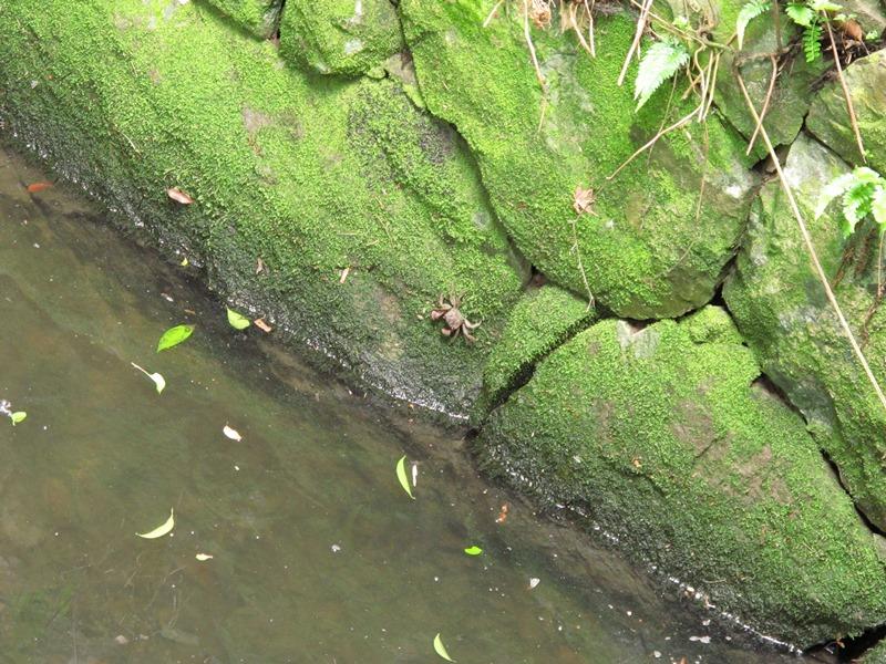 御座爪切不動尊の池の蟹その1