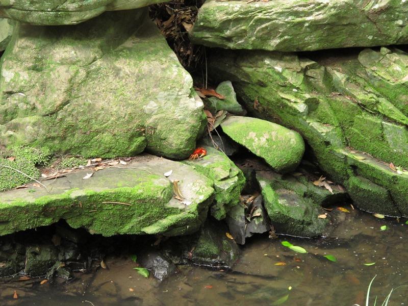 御座爪切不動尊の池の蟹その2