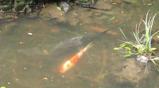 御座爪切不動尊の池の鯉