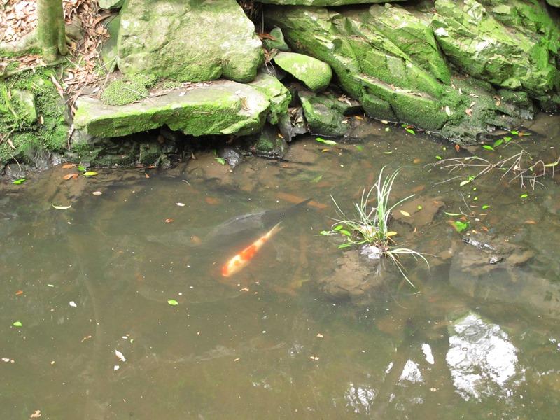 御座爪切不動尊の池の鯉その1