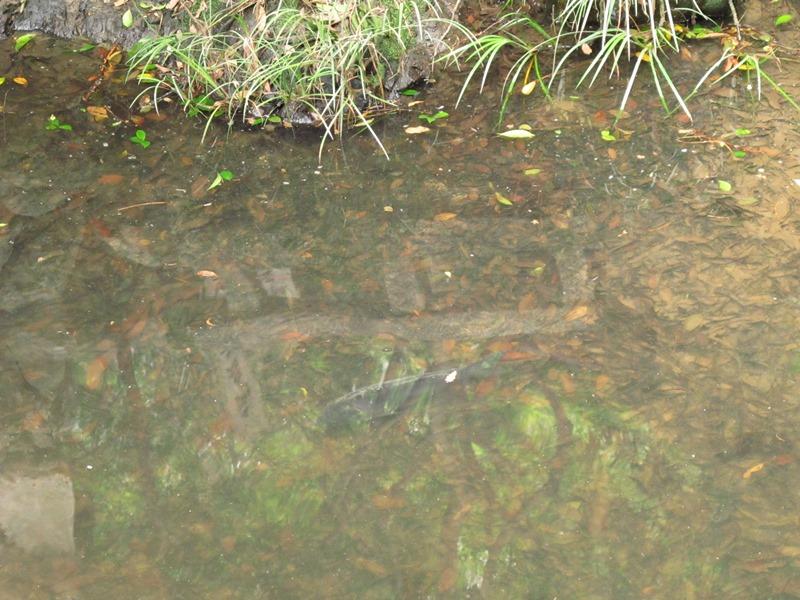 御座爪切不動尊の池の鯉その2