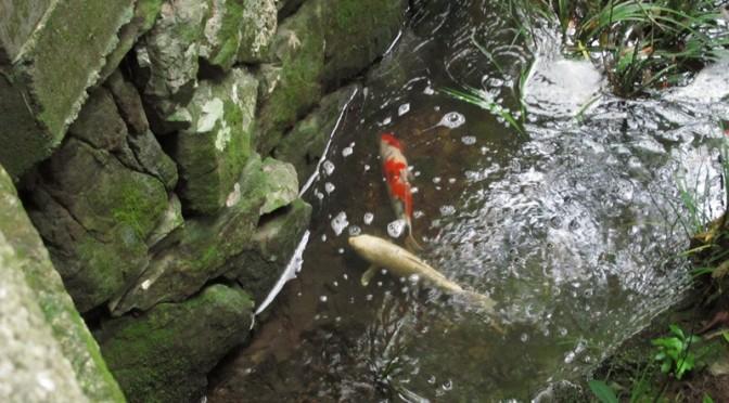 御座爪切不動尊の池の鯉その4