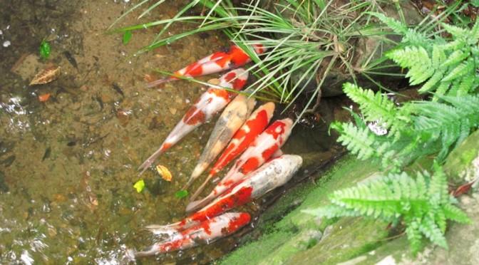 弘法の池の鯉は上流の1か所に集中?