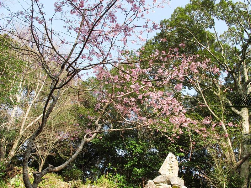 shidarezakura_20140321