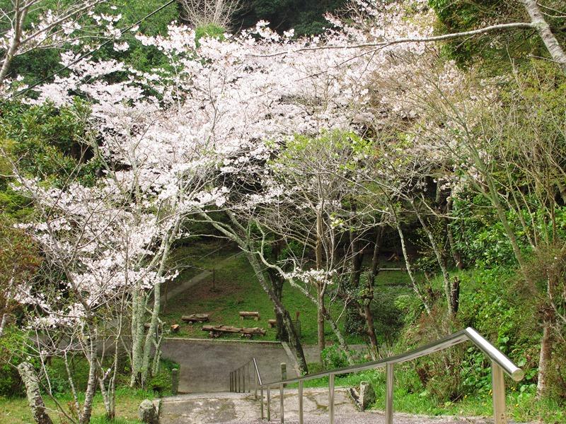 曇り空の御座爪切不動尊の桜トンネル~その1~