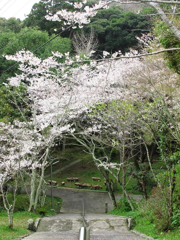 曇り空の御座爪切不動尊の桜トンネル~その2~