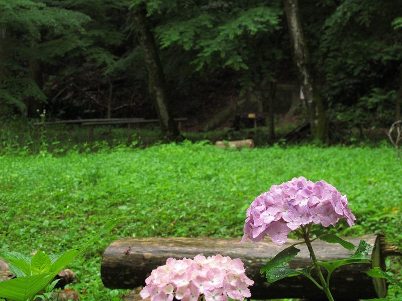 tsumekiri-fudouson_ajisai_20150614_05