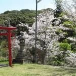 3月末から桜の見ごろを迎えております。