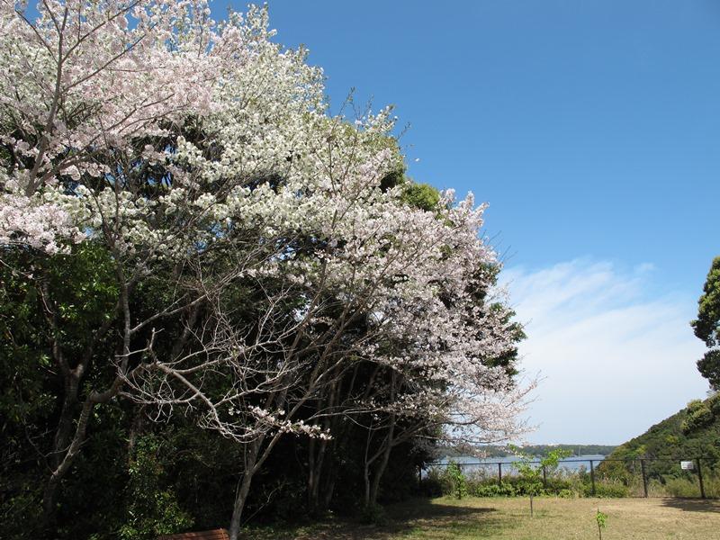 tsumekiri-fudouson_sakura_20160406_08
