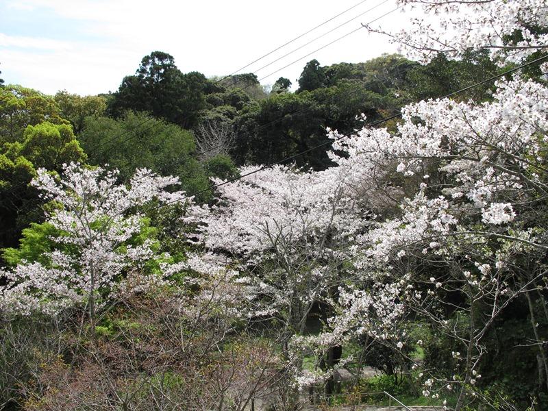 tsumekiri-fudouson_sakura_20160406_09