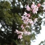桜が少しずつ咲き始めました。