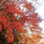 御座爪切不動尊の紅葉は、今週末くらいで見納めでしょうか?